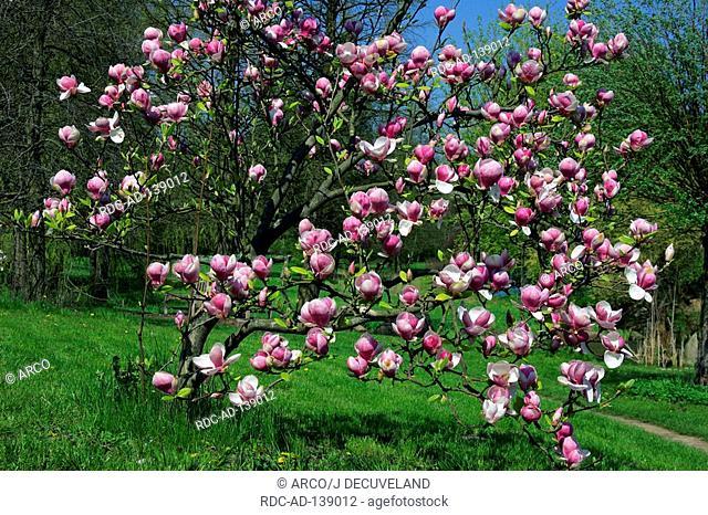 Magnolia 'Rustica Rubra' Magnolia x soulangiana
