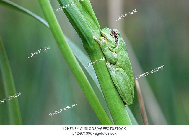 Stripeless Tree Frog (Hyla meridionalis), Camargue, France
