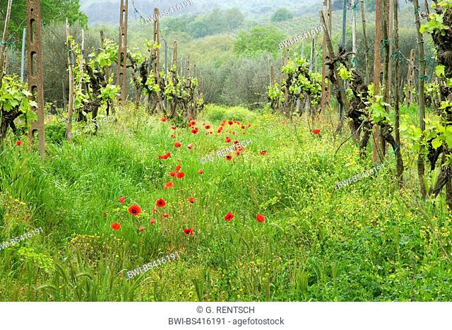 Common poppy, Corn poppy, Red poppy (Papaver rhoeas), blooming common poppies between rows of grape vine, Italy, Tuscany