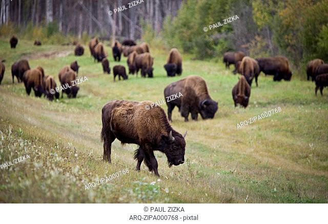 Herd Of Bison On A Roadside In Yukon, Canada