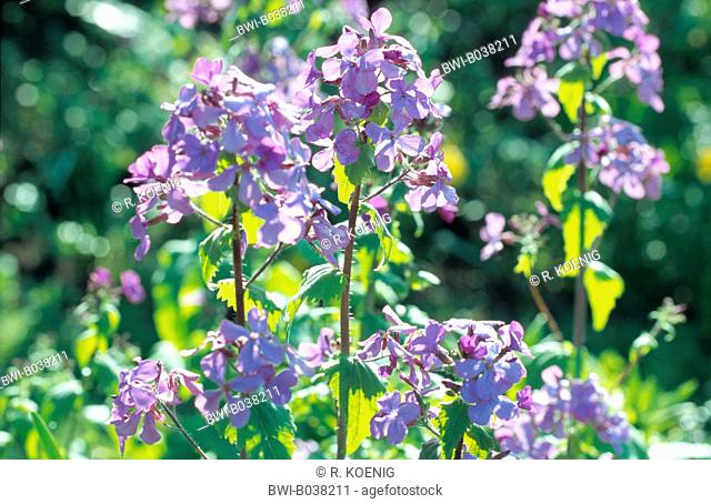 honesty plant (Lunaria annua), blooming
