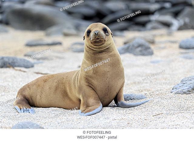 Ecuador, Galapagos Islands, Seymour Norte, young sea lion on sandy beach