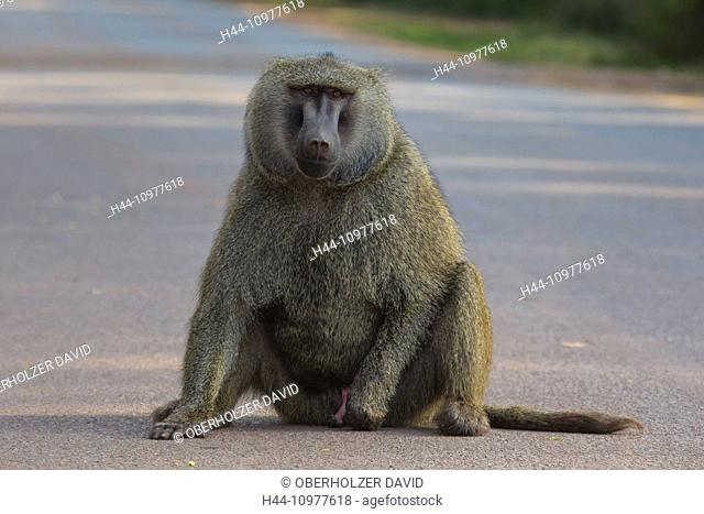 Monkeys, Africa, Ngorongoro, Conservation area, protective area, Ngorongoro crater, baboons, monkeys, primates, travel, mammals, Tanzania, East Africa, animals