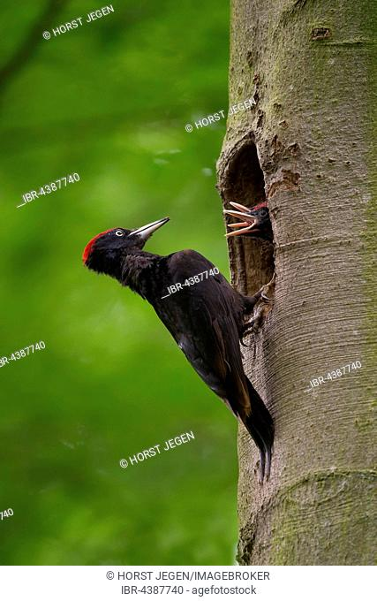 Black woodpecker (Dryocopus martius) with young birds, at nesting hole, Wittlich, Rhineland-Palatinate, Germany
