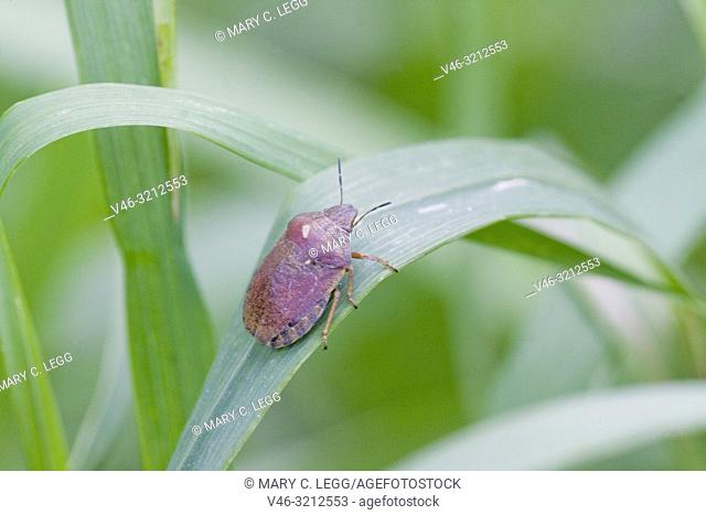 Tortoise Shieldbug Eurygaster testudinaria. Feeds on Poaceae. . Economically significant crop pest that affects wheat and barley crops and can lower crop yield...