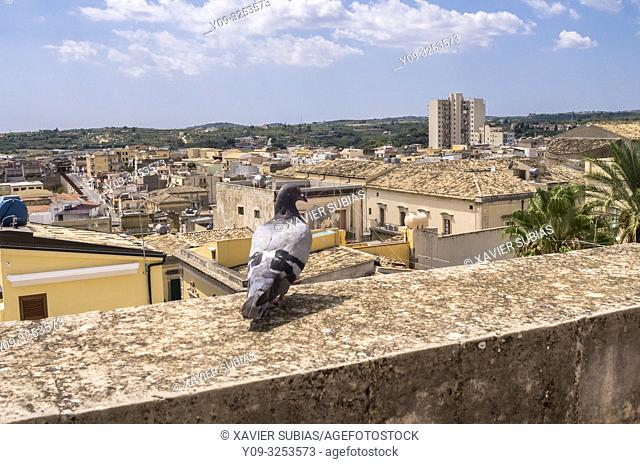 Pigeon, Noto, Siracusa, Sicily, Italy