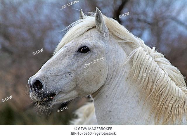 Camargue Horse, Camargue, Bouches du Rhône, France