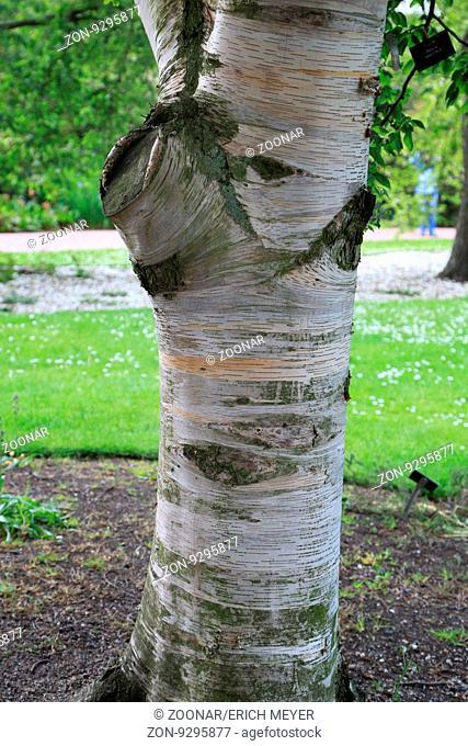 Typischer Stamm einer Papier-Birke, Kanu-Birke, Paper birch, canoe birch, Betula papyrifera