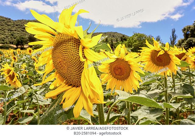 Sunflowers field 'Learza' estate Near Estella, Navarre, Spain