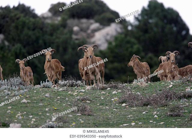 Barbary sheep or Mouflon, Ammotragus lervia, group standing on grass, Espuna National Park, Spain