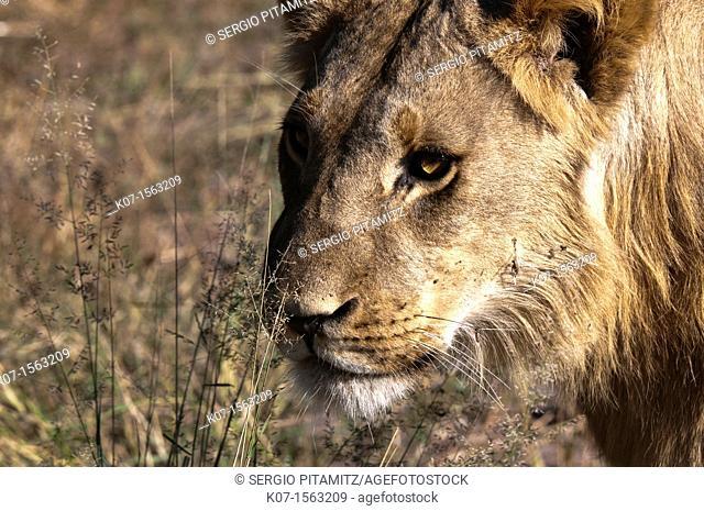 Lion Panthera leo, Savute Channel, Linyanti, Botswana