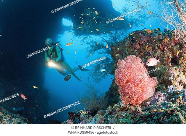 Red Soft Coral and Diver, Dendronephthya mucronata, Maya Thila, North Ari Atoll, Maldives