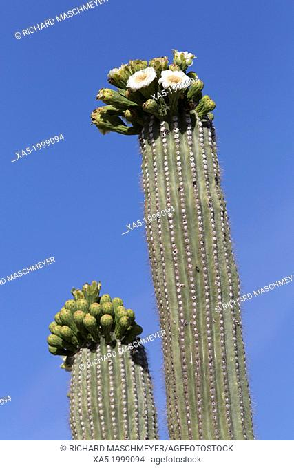 USA, Arizona, Saguaro National Park, West-Tucson Mountain District, Saguaro cactus, can grow to 50 feet high, weigh 1,600 pounds and live up to 200 years
