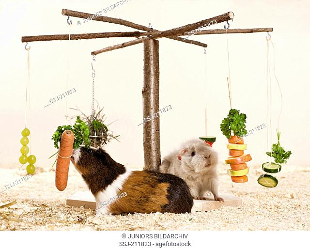 Guinea Pig, Cavie. Two adults (Abyssinian and long-haired) eating fruit and vegetables served on a merry-go-round. Germany