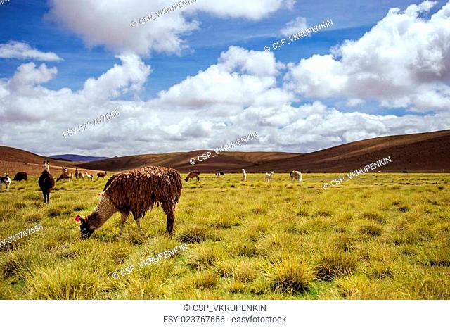 Alpacas on the Altiplano. Bolivia. South America. Eat grass