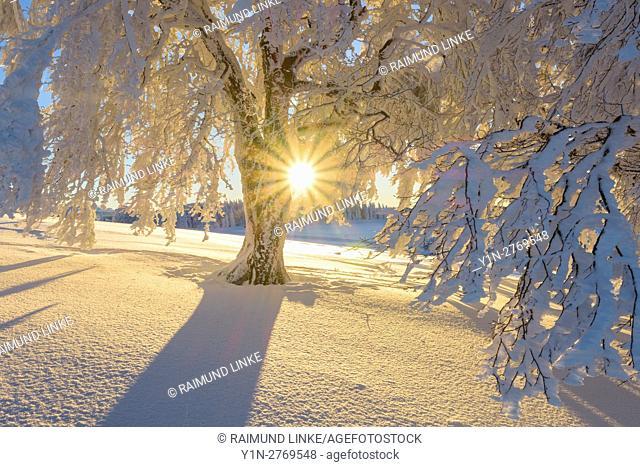 Snow covered beech tree, Winbuche, at Sunrise in winter, Schauinsland, Black Forest, Freiburg im Breisgau, Baden Wurttemberg, Germany