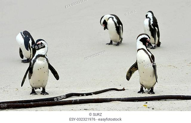 African penguin (spheniscus demersus) at the Beach. South Africa