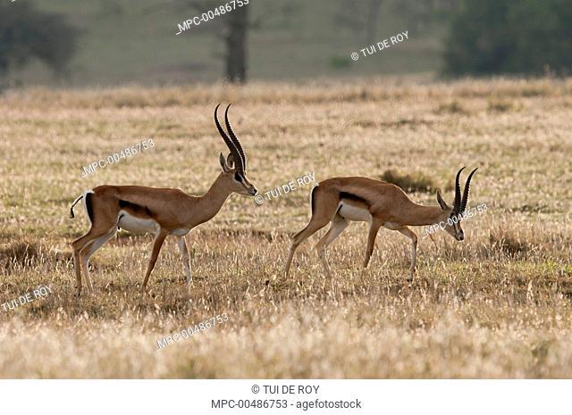 Grant's Gazelle (Nanger granti) males, Borana Ranch, Kenya