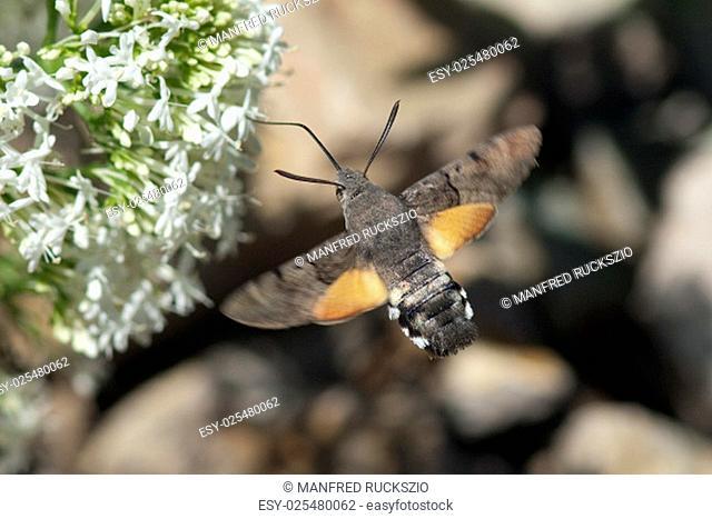 Taubenschwaenzchen; Macroglossum; stellatarum;