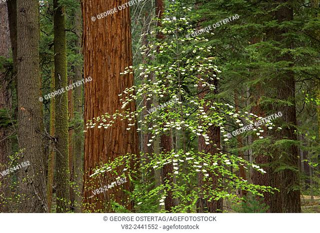 Pacific dogwood with sequoia in North Grove, Calaveras Big Trees State Park, Ebbetts Pass National Scenic Byway, California