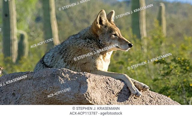 Resting Coyote on large boulder in desert. (Canis latrans), Arizona Sonoran Desert Museum, Tucson, AZ USA