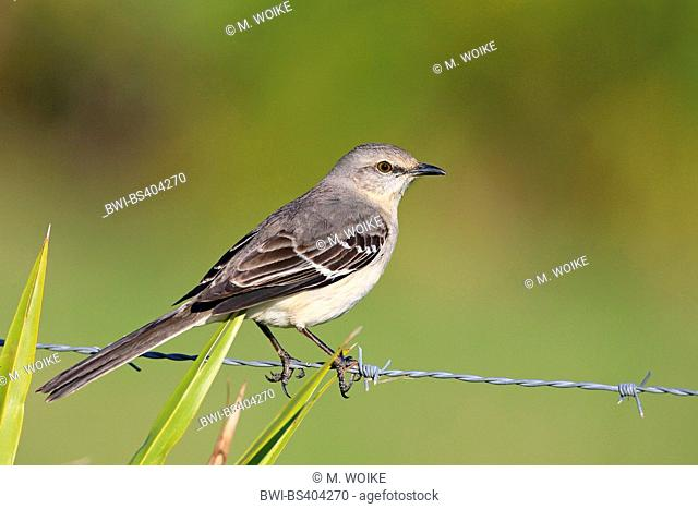Northern mockingbird (Mimus polyglottos), sits on a barbed wire, USA, Florida, Kissimmee