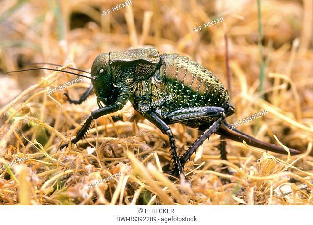 Grasshopper (Bradyporus dasypus), female