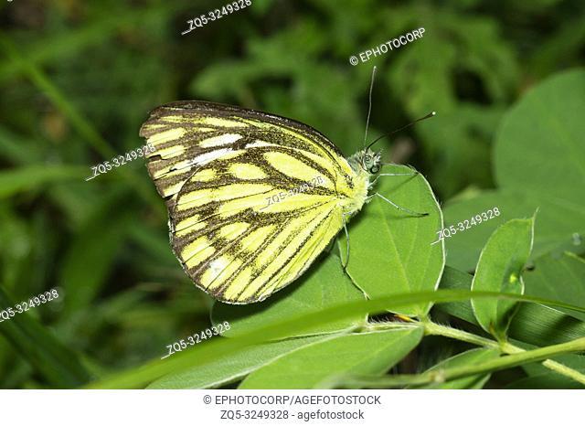 Common Gull Butterfly near Pune, Maharashtra, India