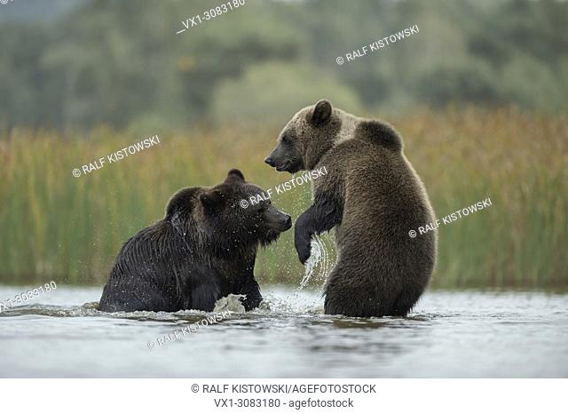 Eurasian Brown Bears ( Ursus arctos ) fighting, struggling, playful fight between two adolescent in shallow water of a lake, Europe
