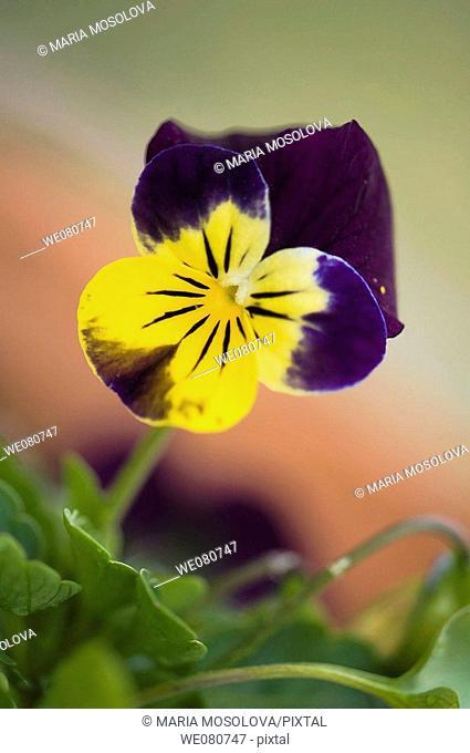 Pansy Flower. Viola x wittrockiana. April 2008. Maryland, USA