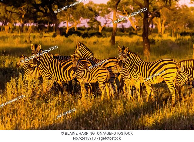 A herd of zebras gather together as lions approach, Kwando Concession, Linyanti Marshes, Botswana