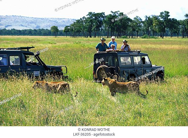 Lion Safari tour with jeep, Kenia, Africa