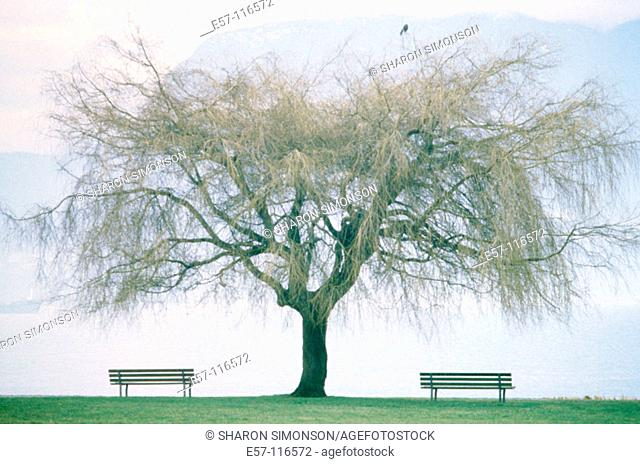Single willow tree, with 2 empty park benches, placed exactly symmetrical and parallel to horizon