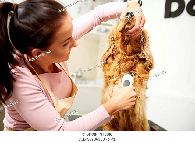 Female groomer clipping cocker spaniel at dog grooming salon