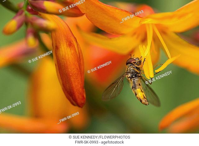 Crocosmia, Crocosmia Montbretia, Hoverfly Episyrphus balteatus, feeding on orange flower in a garden