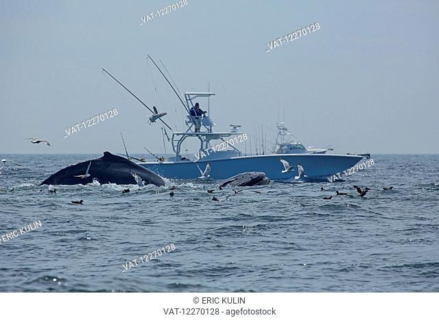 Humpback whales (Megaptera novaeangliae) breaching by a fishing boat; Massachusetts, United States of America