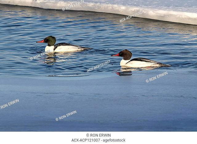 Two male Common Mergansers (Mergus merganser) on Lake Wolsey, Manitoulin Island, Ontario, Canada
