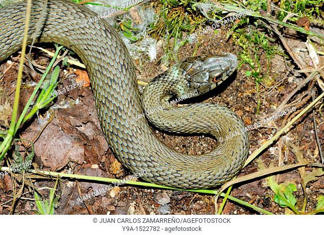 Natrix natrix snake, Mogarraz, Las Batuecas Sierra de Francia Natural Park, Salamanca, Castilla y Leon, Spain