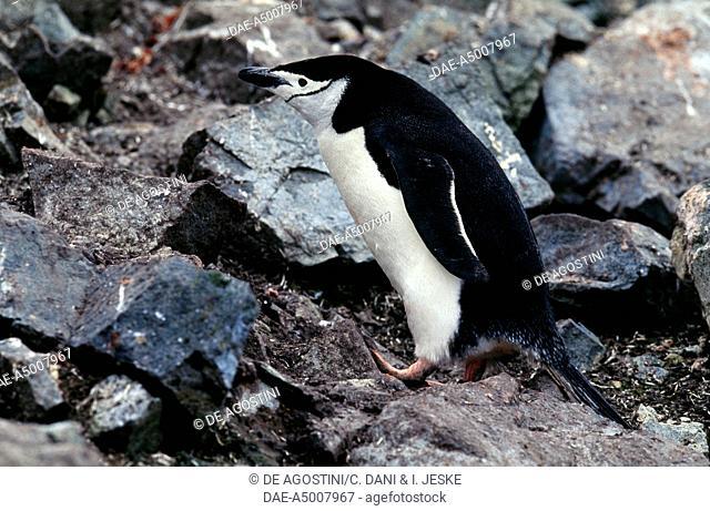 Chinstrap Penguin (Pygoscelis antarcticus), Spheniscidae, Half Moon Island, Antarctica