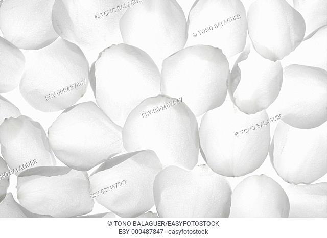 White rose transparent petals, wallpaper pattern flower texture background