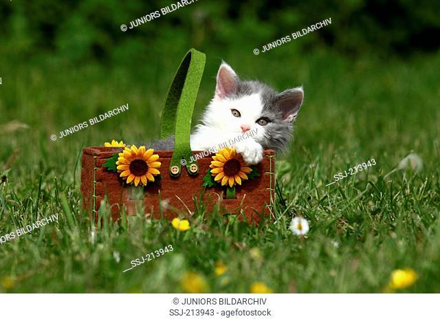 Selkirk Rex. Kitten in a felt bag with sunflowers, on a meadow. Germany