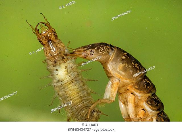 Great diving beetle (Dytiscus marginalis), larva with preyed larva of the lesser silver water beetle, portrait, Germany