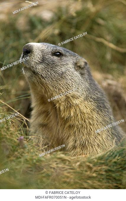 Marmot showing its head at the entry of its burrow in the natural regional park of Queyras