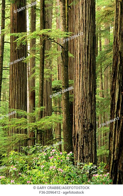 Redwood trees and Rhododendrons, Jedediah Smith State Park, California