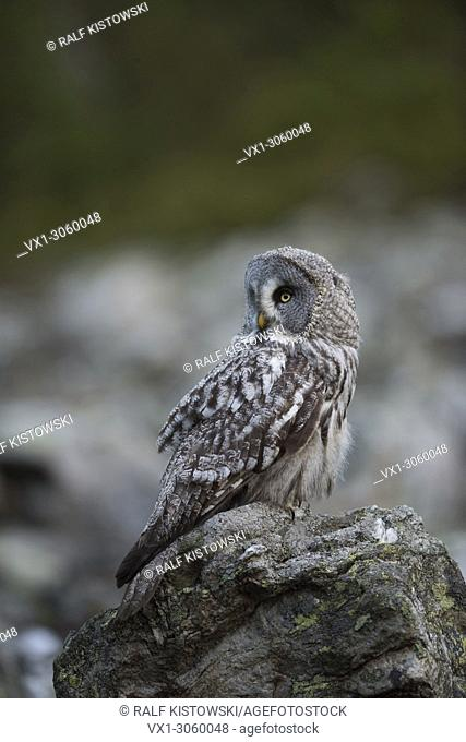 Great Grey Owl (Strix nebulosa), largest species of owls, perched on a rock, watching back, turning its head. Germany