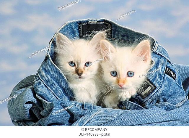 Sacred cat of Burma - two kittens in jeans
