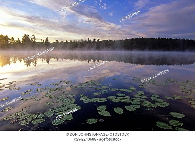 Lily pads in a small lake at dawn, Greater Sudbury, Ontario, Canada