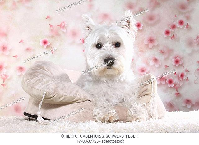 lying West Highland White Terrier
