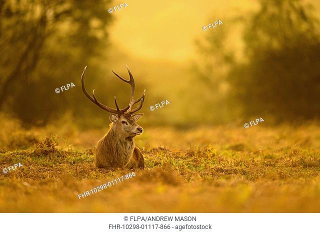 Red Deer (Cervus elaphus) mature stag, resting on ground at dusk, during rutting season, Bradgate Park, Leicestershire, England, October