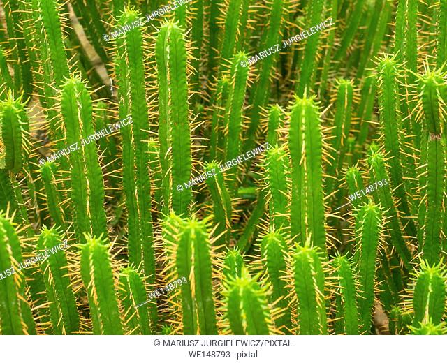 Euphorbia ledienii is a succulent shrub freely branching from the base to form a very cactus-like plant